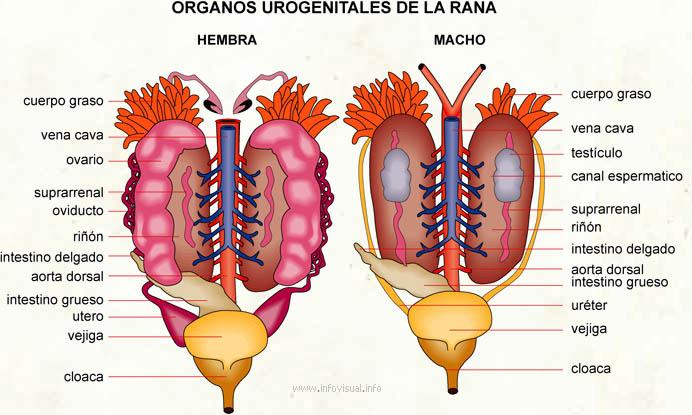 Organos urogenitales de la rana - El Diccionario Visual