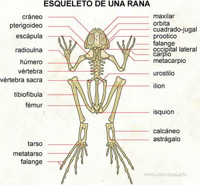 Esqueleto de una rana - El Diccionario Visual