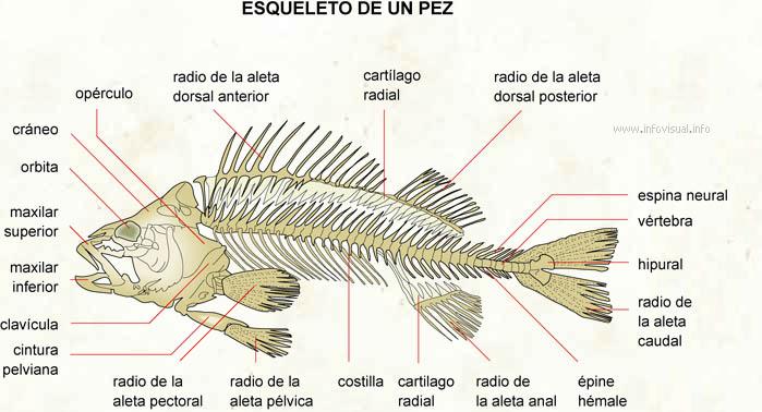 Esqueleto de un pez - El Diccionario Visual