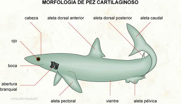 Cartilaginoso - El Diccionario Visual