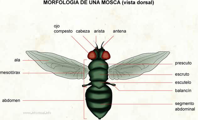 Morfologia de una mosca  El Diccionario Visual
