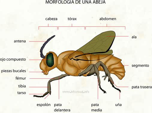 Abeja  El Diccionario Visual