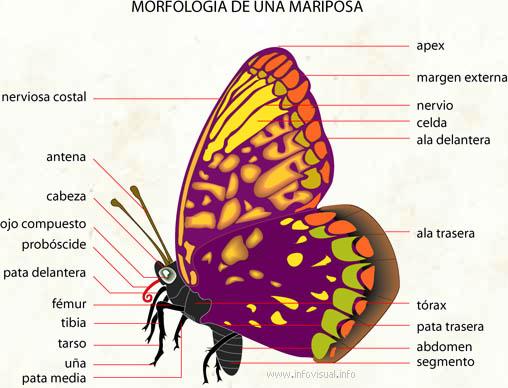 Mariposa - El Diccionario Visual