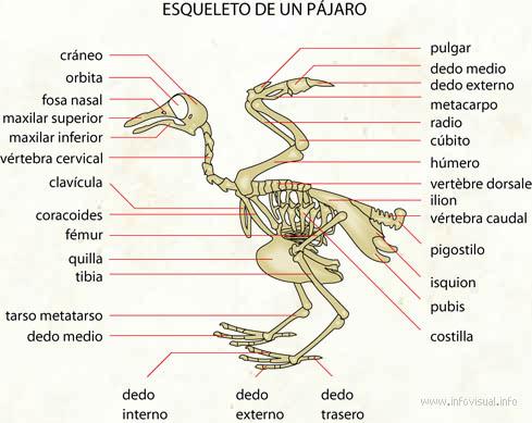Esqueleto de un pájaro