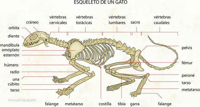 Esqueleto de un gato - El Diccionario Visual