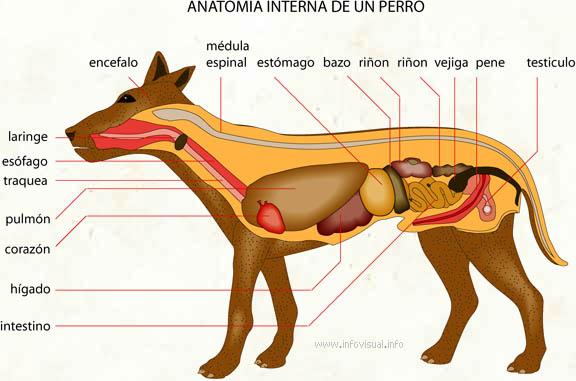 Anatomia interna de un perro - El Diccionario Visual
