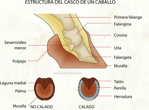Estructura Del Casco De Un Caballo El Diccionario Visual