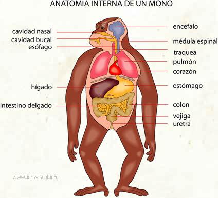Mono - El Diccionario Visual