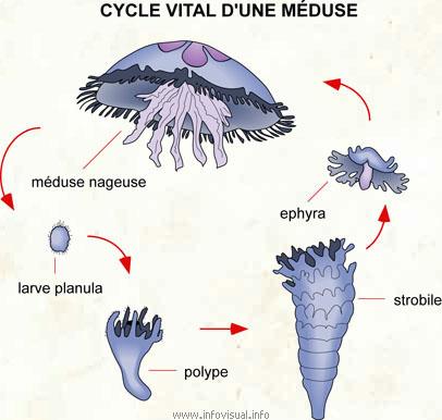 Cycle vital d'une méduse