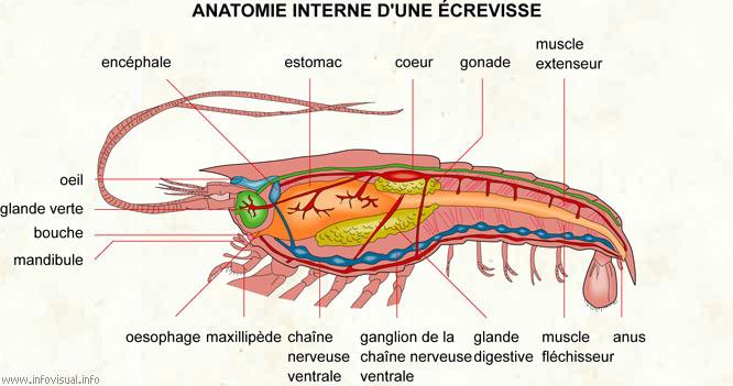 Anatomie interne d'une écrevisse