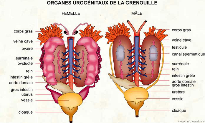 Organes urogénitaux de la grenouille