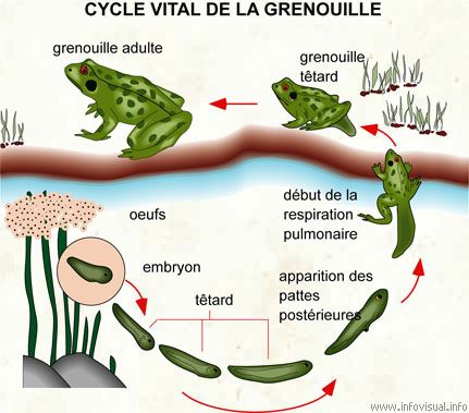 Cycle vital de la grenouille