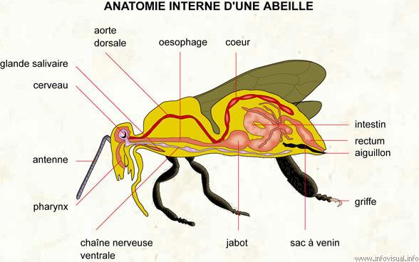 Anatomie interne d\'une abeille - Dictionnaire Visuel