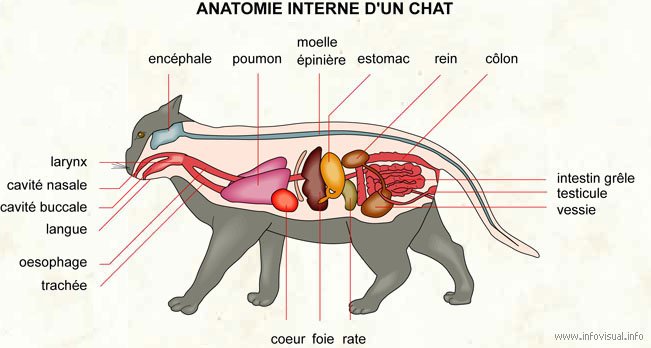 Anatomie interne d'un chat