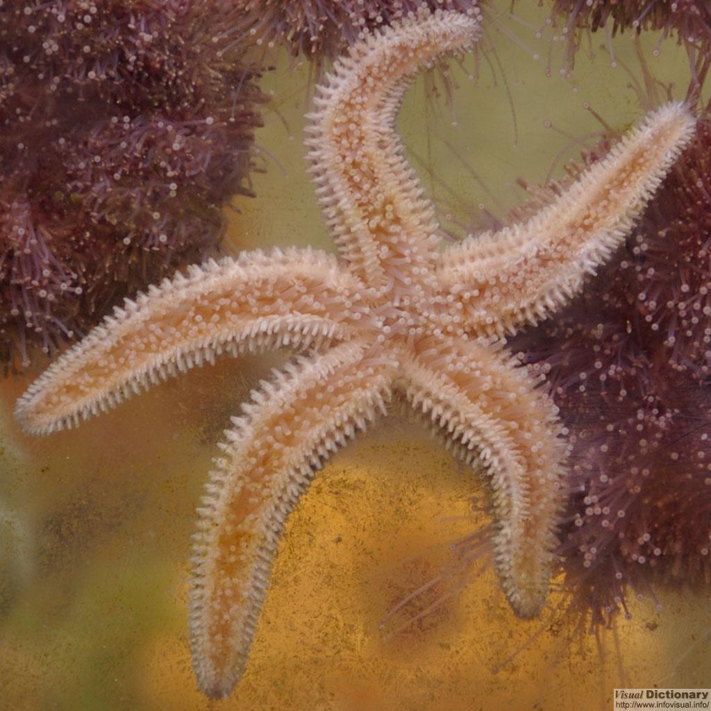 Starfish - Visual Dictionary