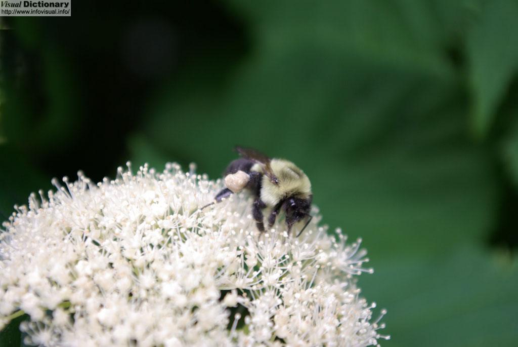 Anatomia interna de una abeja - El Diccionario Visual