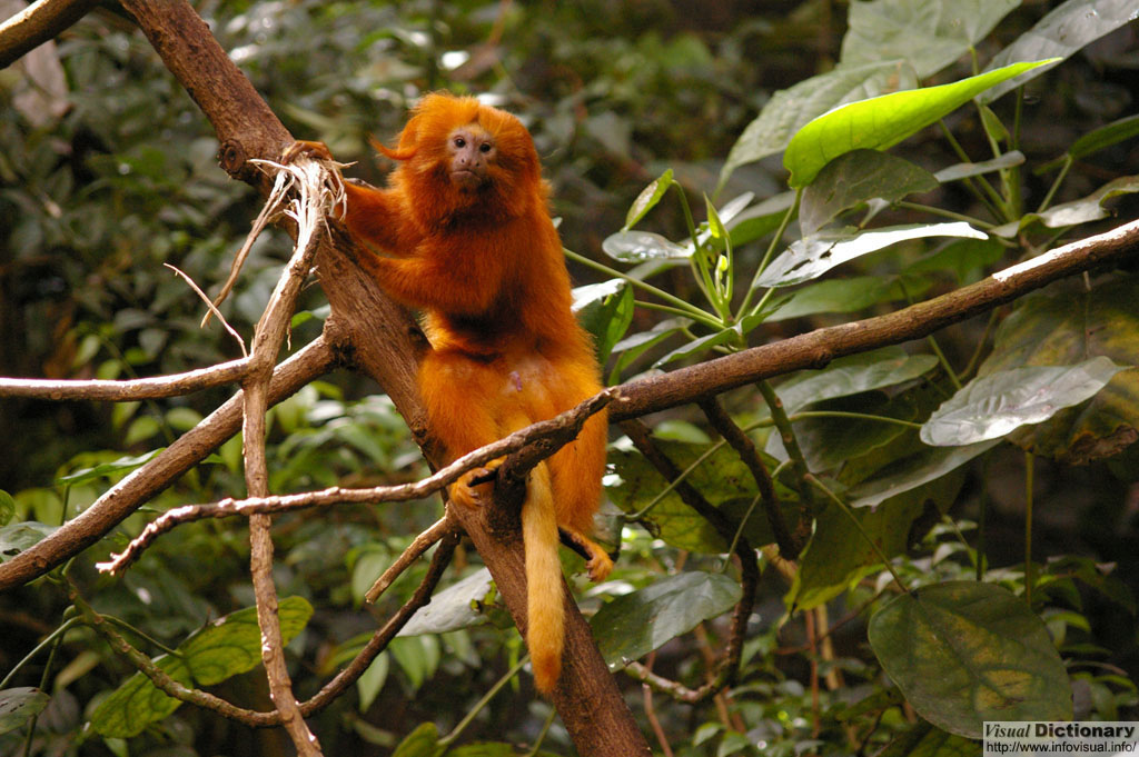 "Tamarin<font size=""3""> 