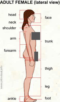 Adult Human Body 118