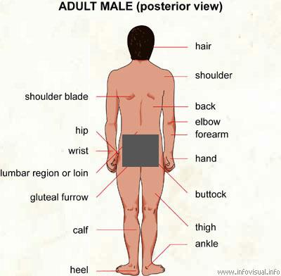 Adult Human Body 62