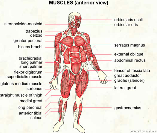 muscles - visual dictionary, Muscles