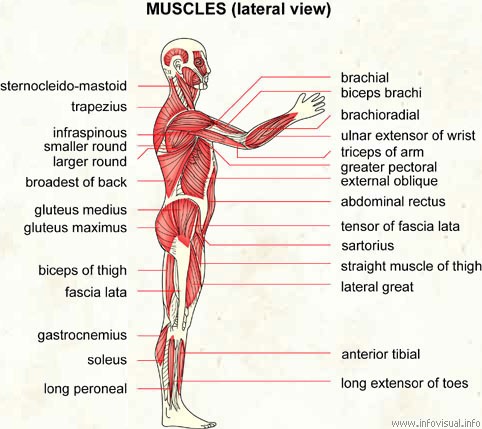 muscles (lateral view) - visual dictionary, Muscles