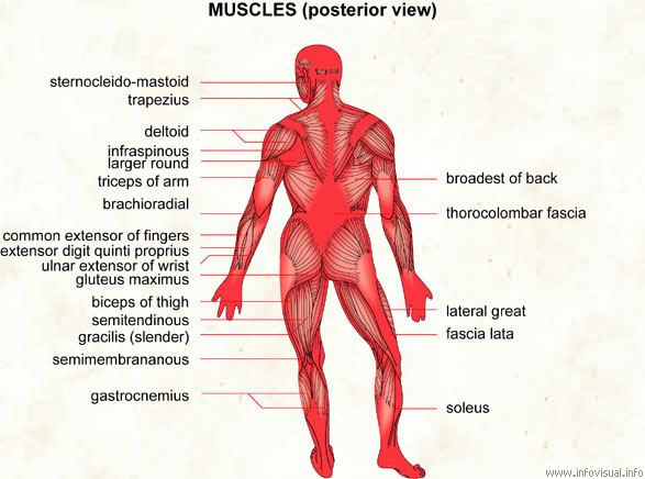 muscle - visual dictionary, Muscles