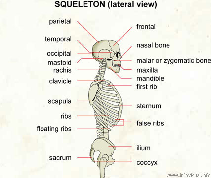 skeleton (lateral view) - visual dictionary, Skeleton