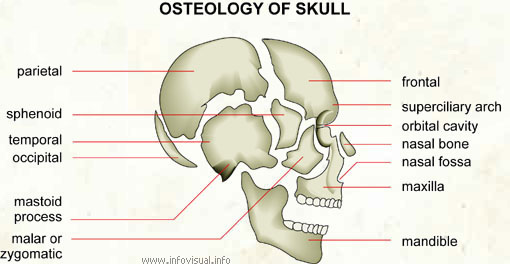 Osteology of skull