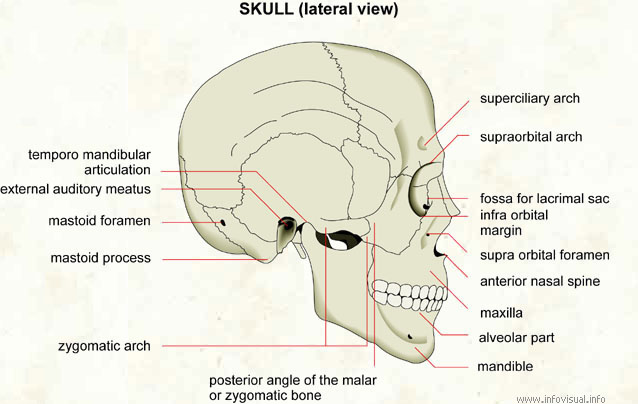 Skull (lateral view) - Visual Dictionary