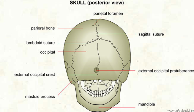 Skull (posterior view)