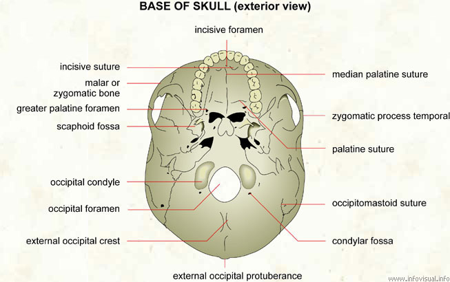 Base of skull (exterior view)