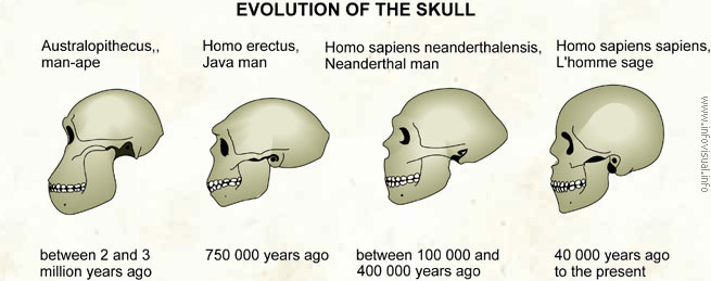 evolution of the skull - visual dictionary, Skeleton