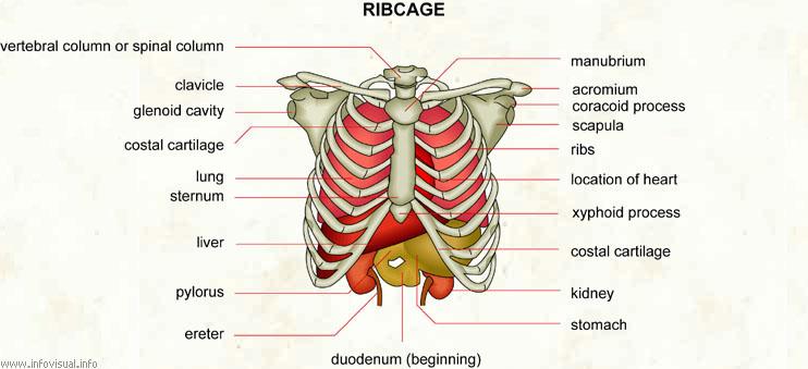 Ribcage - Visual Dictionary