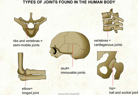Types of joints found in the human body