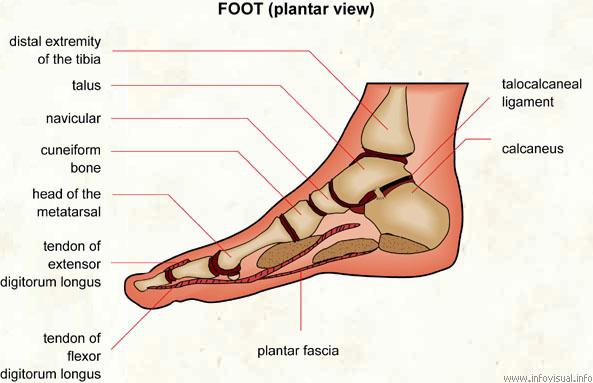 Foot - Visual Dictionary
