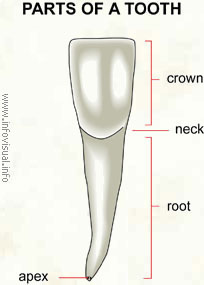 Parts of a tooth - Visual Dictionary