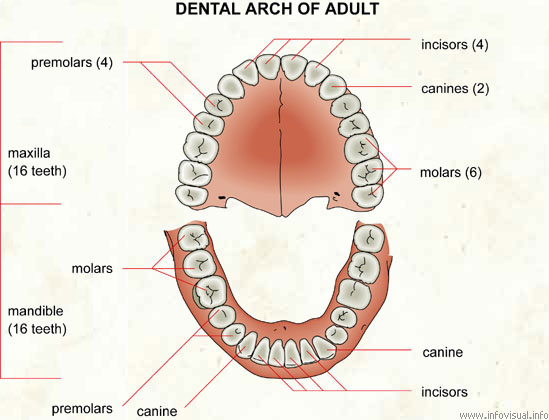 Dental arch visual dictionary dental arch ccuart Image collections