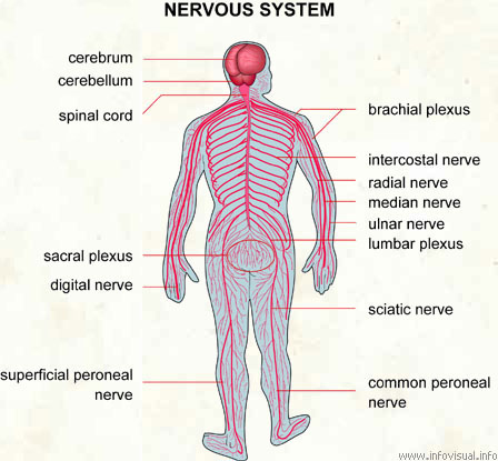 nervous system - visual dictionary, Cephalic Vein