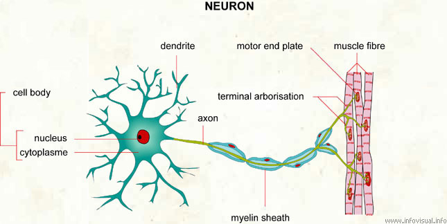 Neuron visual dictionary ccuart Image collections
