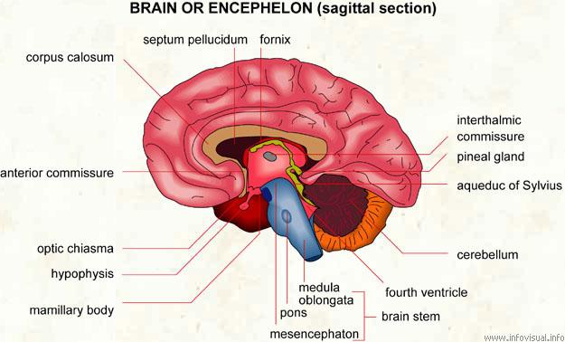 Encephelon