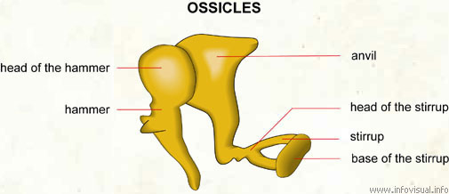 Ossicles