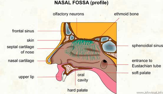 Nasal fossa