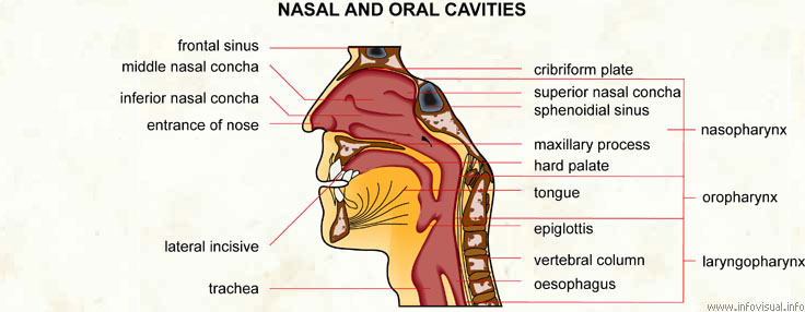 Nasal and oral cavities