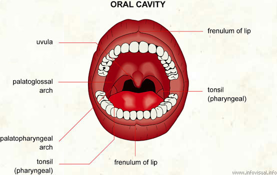 oral cavity - visual dictionary, Sphenoid