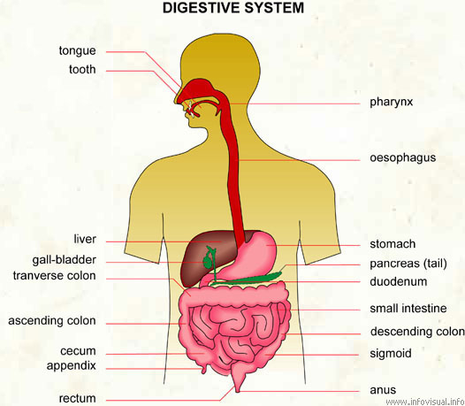 digestive system - visual dictionary, Human Body