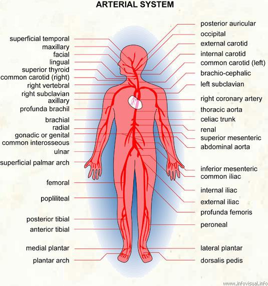 Arterial system - Visual Dictionary