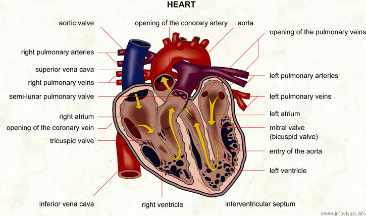 Heart Visual Dictionary