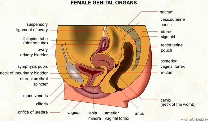 Female genital organs - Visual Dictionary