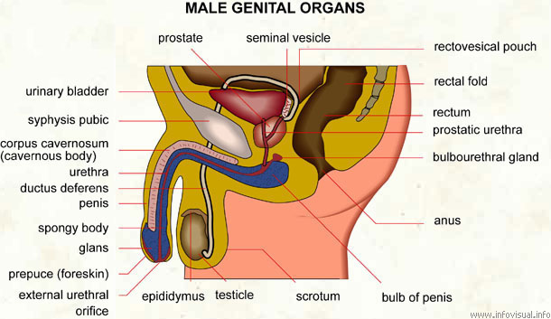 Male Genital Organs Visual Dictionary