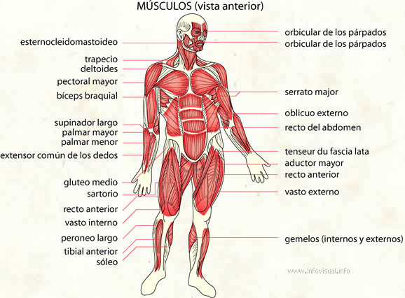 Músculos - El Diccionario Visual